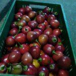 tomate de árbol tamarillo o injerto