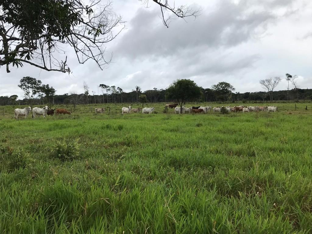 Venta de ganado en pie Cebu
