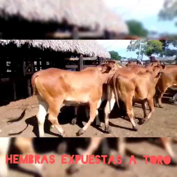 17 hembras 3 meses expuestas a toro brahman rojo. 385kgs.