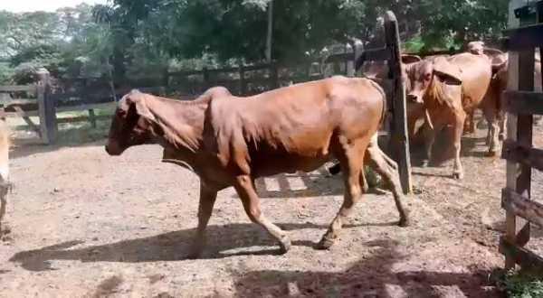 45 vacas de lujo 1er y 2do parto.