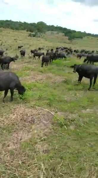 búfalos destetos